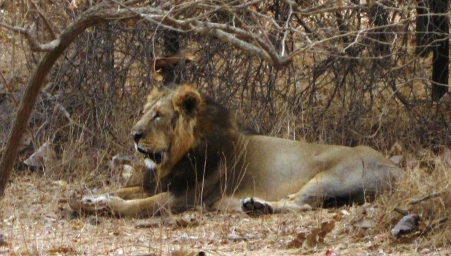 Lion in Gir